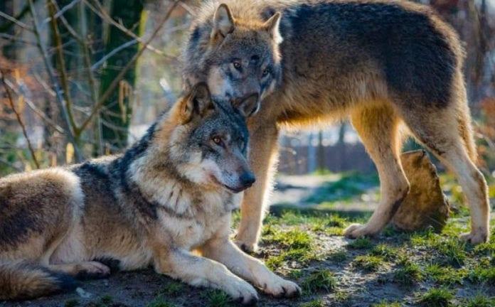 VOTAZIONI: 3 NO e 2 SI. Vince il lupo, bocciata la nuova legge sulla caccia
